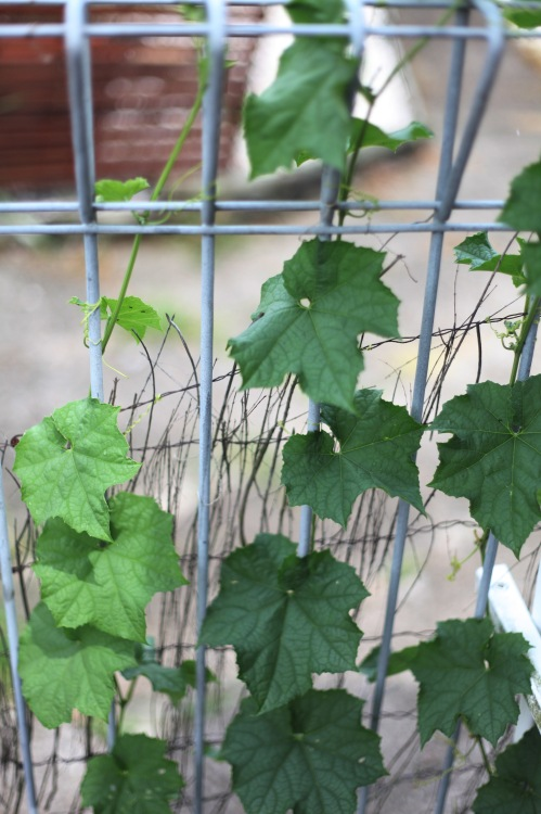 Leaves of the Luffa plant.