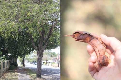 Tamarind trees on Dornoch Terrace and the seed pod enclosing fruit used in chutneys.